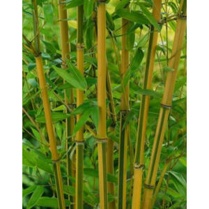 Phyllostachys aureosulcata 'Spectabilis' – Bambusz