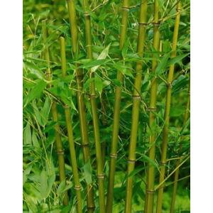 Phyllostachys bissetii – Sövénybambusz