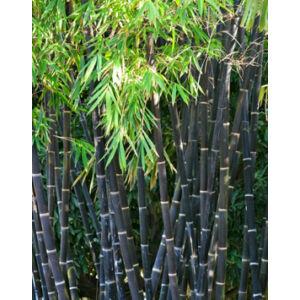 Phyllostachys nigra – Fekete bambusz