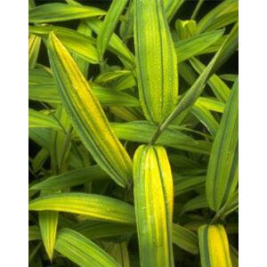Pleioblastus auricomus – Sárgás levelű bambusz