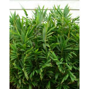 Pleioblastus pygmaeus - Törpe bambusz
