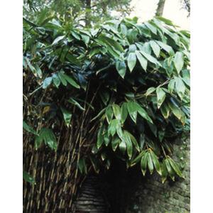 Sasa palmata 'Nebulosa' – Pálmalevelű bambusz