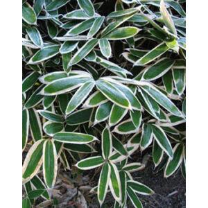 Sasa veitchii – Bambusz