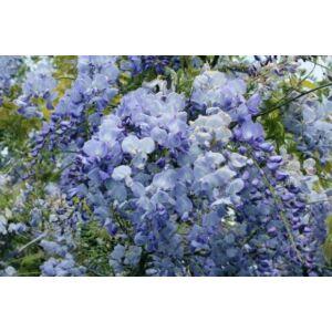 Wisteria floribunda 'Blue Dream' - Lilaakác (világoskék)