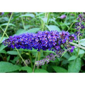 Buddleia davidii 'Empire Blue' - Kék virágú nyáriorgona