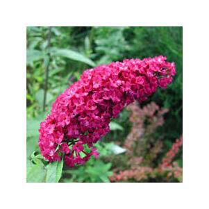 Buddleia davidii 'Royal Red'- Bíborpiros nyáriorgona