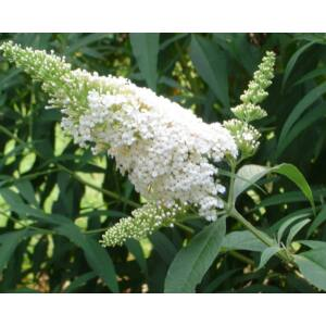 Buddleia davidii 'White Profusion' - Fehér nyáriorgona