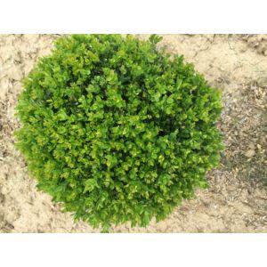 Buxus sempervirens - örökzöld puszpáng