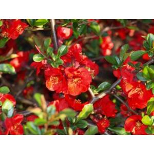 Chaenomeles x superba 'Elly Mossel' - Skarlátvörös virágú japánbirs