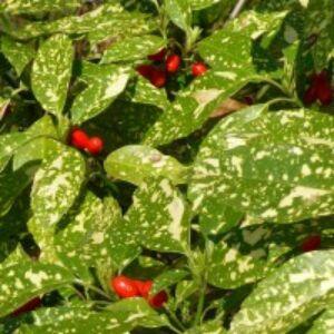 Aucuba japonica 'Crotonifolia' - Babérsom