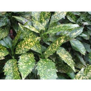 Aucuba japonica 'Variegata' - Tarkalevelű babérsom