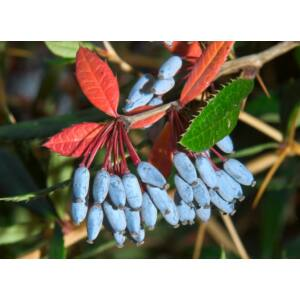 Berberis julianae - Júlia borbolya