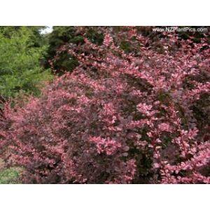 Berberis thunbergii 'Rose Glow' - Japán vérborbolya