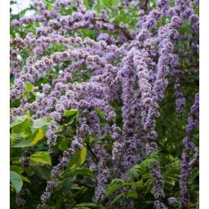 Buddleia alternifolia – Korai nyáriorgona