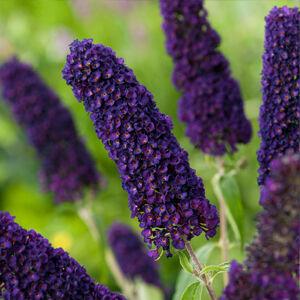 Buddleia davidii 'Black Knight' – Sötétlila virágú nyáriorgona