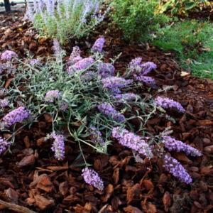 Buddleia davidii 'Free Petite – Lavender Flow' – Nyáriorgona
