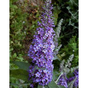 Buddleia davidii 'Lochinch' – Sötétlila virágú nyáriorgona