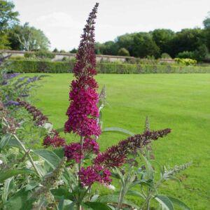 Buddleia davidii 'Summer Beauty' – Sötét rózsaszín virágú nyáriorgona