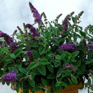 Buddleia 'Dreaming Lavender'® - Levendula színű alacsony nyáriorgona