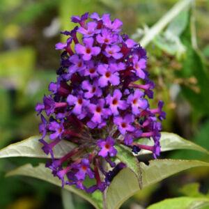 Buddleia 'Dreaming Purple'® - Törpe, csüngő ágú nyáriorgona