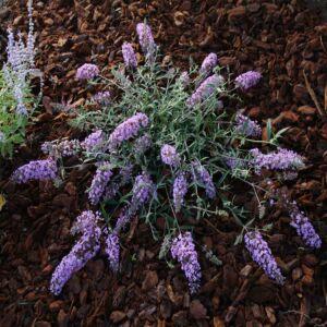 Buddleia flutterby T. 'Lavender'® - Lila virágú alacsony nyáriorgona