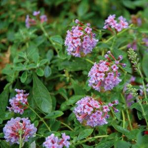 Buddleia flutterby T. 'Peace'® - Rózsaszín virágú aéacsony nyáriorgona