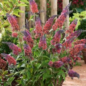 Buddleia weyeriana 'Flower Power'® - Kékes-lilás virágú nyáriorgona