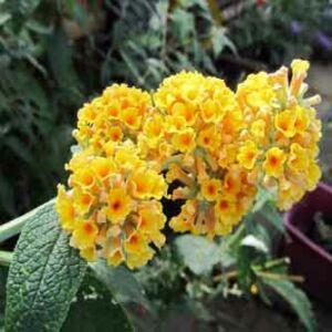 Buddleia x weyeriana 'Golden Glow'® - Sárga virágú nyáriorgona