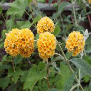 Buddleia x weyeriana 'Sungold' - Sárga virágú nyáriorgona
