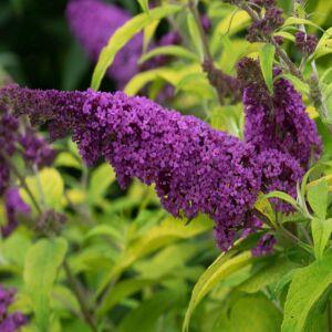 Buddleia davidii 'Moonshine'® - Sárgás levelű, sötét rózsaszín virágú nyáriorgona