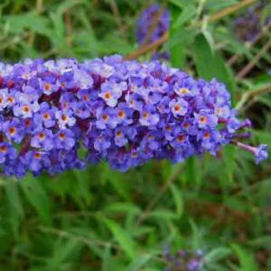 Buddleia davidii 'Nanho Blue' – Kék virágú törpe nyáriorgona