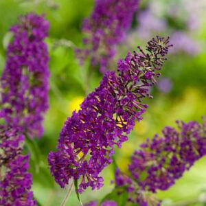 Buddleia davidii 'Nanho Purple' – Lila virágú törpe nyáriorgona