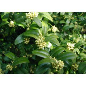 Buxus sempervirens 'Suffruticosa' - Szegélypuszpáng