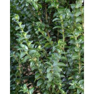 Buxus sempervirens 'Handsworthiensis' – Puszpáng