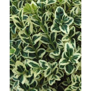 Buxus sempervirens 'Variegata' – Tarka lombú puszpáng