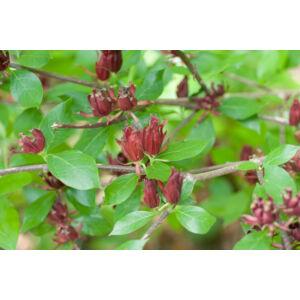 Calycanthus floridus - Illatos fűszercserje