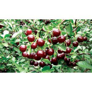 Prunus 'Carmine Jewel' - Ékszermeggy