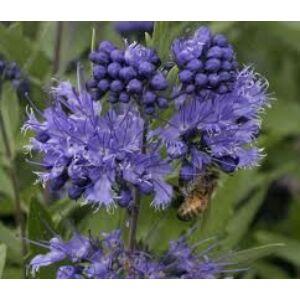 Caryopteris clandonensis 'Heavenly Blue' - Angol kékszakállCaryopteris clandonensis 'Heavenly Blue' - Keskenylevelű angol kékszakáll