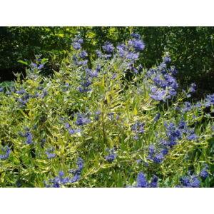 Caryopteris x clandonensis 'Worcester Gold' - Aranysárga levelű angol kékszakáll