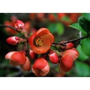 Chaenomeles x superba 'Etna' - Skarlátvörös virágú japánbirs