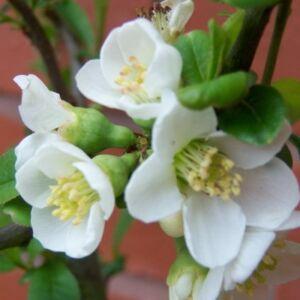 Chaenomeles speciosa 'Nivalis' – Fehér virágú japánbirs