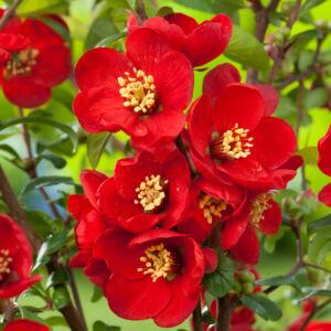 Chaenomeles x superba 'Crimson and Gold' – Mélypiros virágú japánbirs
