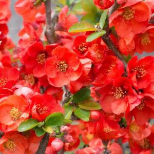 Chaenomeles x superba 'Texas Scarlet' – Piros virágú japánbirs