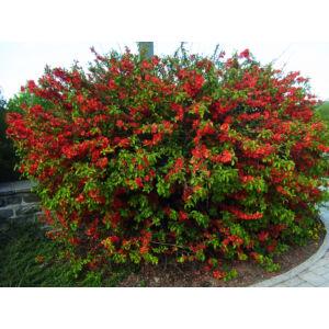 Chaenomeles japonica – Téglapiros japánbirs