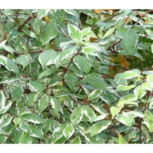 Cornus alba 'Sibirica Variegata' - Fehértarka som