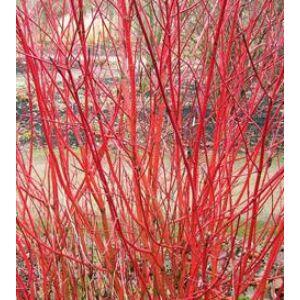 Cornus alba 'Sibirica' - Fehér virágú, vörös vesszejű som