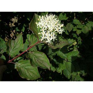 Cornus sanguinea – Veresgyűrűs som