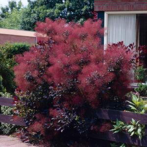 Cotinus coggygria 'Royal Purple' - Vörös cserszömörce