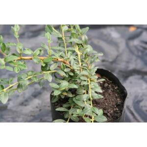 Cotoneaster dammeri 'Eicholz' - Kúszó madárbirs