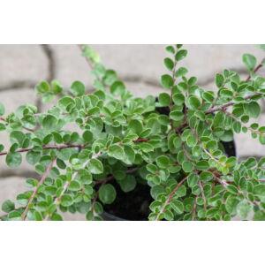 Cotoneaster dammeri 'Radicans' - Szőnyegmadárbirs